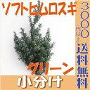 【即納】 ソフトヒムロスギ【グリーン 小分け】 杉 大地農園