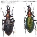 虫の標本 オオルリオサムシ 2匹 メタリック調ライトフレーム 額 インテリア 自然 ネイチャー オブジェ