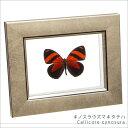 蝶の標本 キノスラウズマキタテハ メタリック調ライトフレーム 額 インテリア 自然 ネイチャー オブ