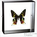 蝶の標本 オオニシキツバメガ アクリルフレーム 黒...