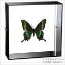 昆虫標本 蝶の標本 ミヤマカラスアゲハ アクリルフレーム 黒