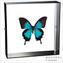 蝶の標本 オオルリアゲハ P.ulysses アゲハチョウ アクリルフレーム 黒 インテリア 自然