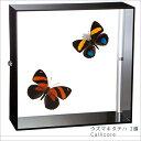 蝶の標本 ウズマキタテハ Callicore 2頭 タテハチョウ アクリルフレーム 黒 インテリア