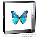 昆虫標本 蝶の標本 ゼフィリテスモルフォ アクリルフレーム 黒