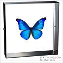 蝶の標本 レテノールモルフォ Morpho rhetenor モルフォチョウ アクリルフレーム 黒 インテリア 自然 ネイチャー 置物 オブジェ 【送料無料】