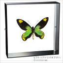 蝶の標本 ビクトリアトリバネアゲハ アゲハチョウ アクリルフレーム 黒 インテリア 自然 ネイチャー オブジェ 【送料無料】