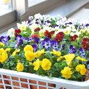 花苗 ビオラ 12ポットセット 花苗 冬 寄せ植え 花壇 プランター 園芸 ガーデニング