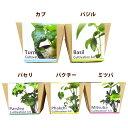 【高衛生人工土壌】室内用土Crystal Pot 虫のわかない栽培キット(選択項目あり)カブ・バジル・パクチー・パセリ・ミツバセット 家庭菜園 栽培