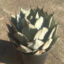 アガベ パリー フォーチエンシス agave parryi var. huachucensis・ドライガーデン・リュウゼツラン・agave・多肉植物・PARRYI HUACFUCENSIS・ホーチエンシス