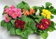 【花苗】【鉢花】【寄せ植え】 プリムラ ジュリアン八重 450 【あす楽対応】【RCP】