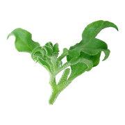 塩味の新食感野菜 アイスプラント(シャインリーフ)500g