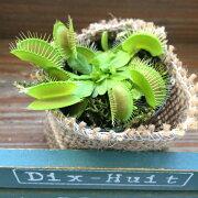 ミニサイズ ハエトリ草 (ハエトリソウ)食虫植物 ☆虫取り 観葉植物 インテリアグリーン