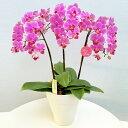 フラワー:胡蝶蘭、シンビジウム:鉢花:自家用、発表会、記念日、お誕生日