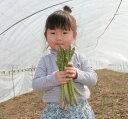 グリーンアスパラガス 北海道 富良野産 極太 2Lサイズ 以上 500g 送料無料 ハウス栽培