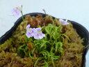 食虫植物 ミミカキグサ