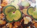 雪割草 斑入り「緑鳳」1芽