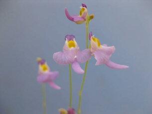 食虫植物 ミミカキグサ クリオネ