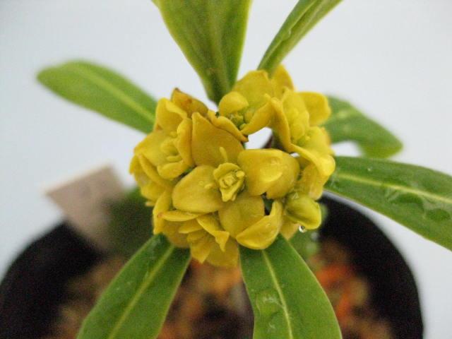 ナツボウズ(オニシバリ) 八重咲き
