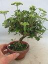 小盆栽仕立て ガマズミ 八つ房ガマズミ「金崋山」