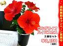 【農家直送】夏の夜も咲き続けるロングライフ・ハイビスカス4号☆選べる2鉢セット!【花】【鉢植え】【2