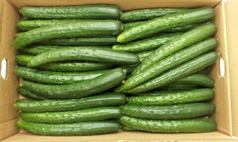【送料無料】四国産「キュウリ」4kg しゃきしゃき!ご当地 野菜 お取り寄せ