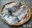 【スピード出荷】鳥取県産 甲イカ[生] 1杯(350g程度)【お刺身♪焼き物♪】