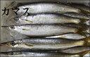【スピード出荷】鳥取県産カマス[生] 3匹セット(200g前後が3匹入り)【塩焼きに♪】