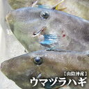 【スピード出荷】鳥取県産ウマヅラハギ[生] 1匹(300-400g程度)【お刺身・煮付け♪】