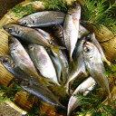 【持ち越し品・加熱用】【スピード出荷】鳥取県産 天然アジ[生] 【4匹セット】(150g前後が4匹入)【塩焼き・煮つけ】