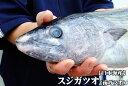 【スピード出荷】日本海産スジカツオ(ハガツオ)[生] 1匹(1kg前後)【お刺身・タタキ♪】