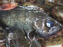 【送料無料】伊勢湾産 活け締め 黒メバル(めばる・クロメバル・くろめばる)1kg (5匹前後)