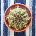 母の日 父の日 ギフト ミニサボテン 3.5号鉢 アソート 1個 インテリア 観葉植物 さぼてん 引越し祝い プレゼント