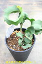 ミニドラゴンフルーツ5号株 植え替え不要【ピタヤ】【希少熱帯植物】【発送時期が同じ熱帯植物との同梱可能】