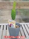 【夏物一掃!!】白実ドラゴンフルーツ 4号ポット苗【ピタヤ】【発送時期が同じ熱帯植物との同梱可能】