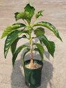 奇跡のハーブ!! ノニの木 6号スリット鉢 大株【発送時期が同じ熱帯植物との同梱可能】