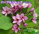 プルメリア苗 パープルジャック 5号鉢☆スタンダード品種☆【...