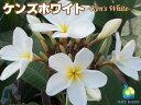 プルメリア苗 ケンズホワイト 5号鉢☆スタンダード品種☆【 ...