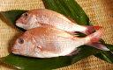 瀬戸内の天然活け鯛 500g写真は、2尾になっておりますが1尾となります。卒業、合格、入学、お食い初め祝いに【簡単レシピ付き】