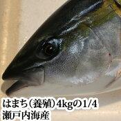 瀬戸内海産はまち ( ハマチ )(養殖)4kgの4分の1