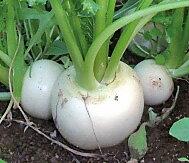 Organic or natural farming turnips 1 bag