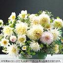 タキイ種苗 球根 ダリア・キャンディーミックス 白色系 5球...