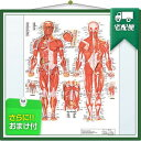 「検査」医道の日本社 人体解剖学チャート骨格筋 ポスター パネルなし(SR-116A) 『プラス選べるおまけ付』