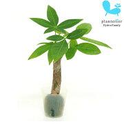 観葉植物 ハイドロカルチャー 苗 パキラ プチサイズ 1寸