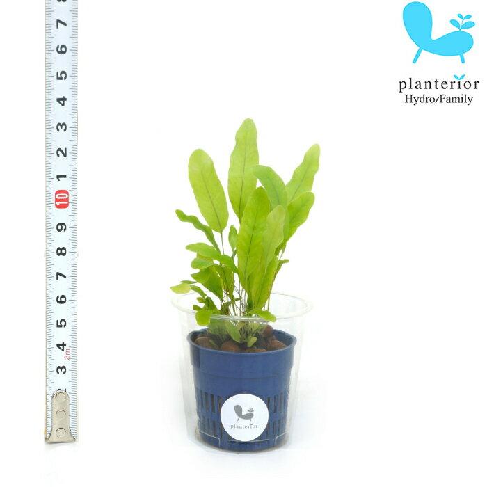 観葉植物 ハイドロカルチャー 苗 フレボディウム Sサイズ 4.5パイ 1.5寸