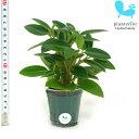 観葉植物 ハイドロカルチャー 苗 ペペロミア オルバ Mサイズ 6パイ 2寸
