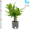観葉植物 ハイドロカルチャー 苗 クロトン アキュビフォーリア Lサイズ 9パイ 3寸