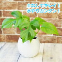 ヒメモンステラ 水やり簡単! ハイドロカルチャー 水位計つき ピュアボウルLL陶器鉢セット