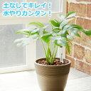 ヒメモンステラ 観葉植物 ハイドロカルチャー 鉢色が選べる ストーンウッドポットL (水位計付き)