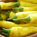 在来種/固定種/野菜の種「黄辛とうがらし」0.5ml約40粒/畑懐〔はふう〕