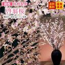 【初桜】山形県産 啓翁桜 (約60~80cm×7~8本)送料無料※一部地域は別途送料